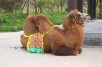Crappin' Camel