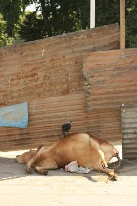 Dead ol' cow in Srinagar